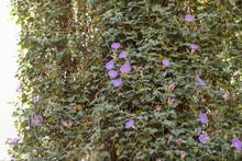 Morning Glory, Purple Flowering Vine, Vigorous Growing Weed.
