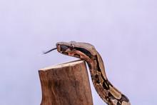 The Boa Constrictor (Boa Const...