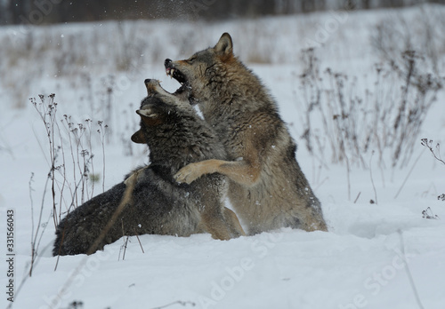 Valokuva Wolves in Chernobyl radioactivity region running among abandoned hoses with cold