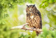 Eagle Owl (bubo Bubo) In Green Forest
