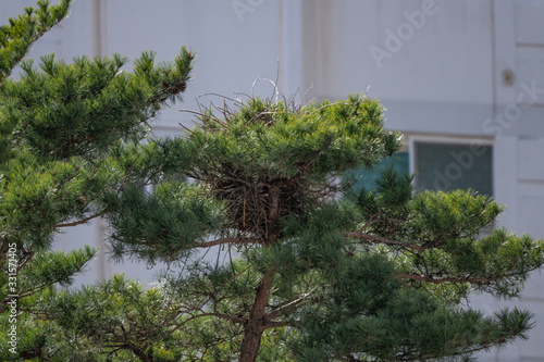 Fototapeta Oriental Magpie's nest built on a pine tree planted in an apartment complex, sho