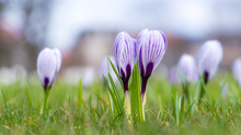 Beautiful  Crocus Flowers In T...
