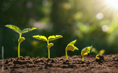 Obraz planting seed grow step concept in garden and sunlight. - fototapety do salonu
