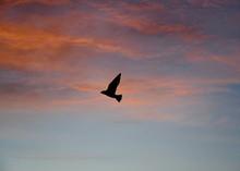 Bird Soaring In A Sunset