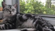 American Shorthair Cat Sleep O...