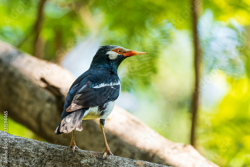 Photo The Pied Myna is a medium sized black and white bird with a yellowish bill, which has a reddish base