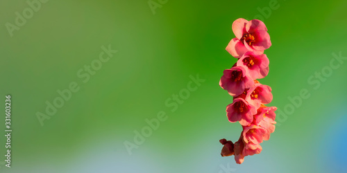 Early flowering bud of a bergenia in the spring season Canvas Print
