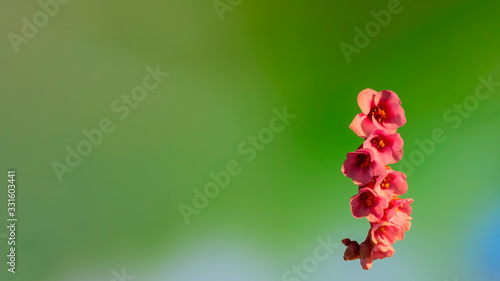 Photo Early flowering bud of a bergenia in the spring season