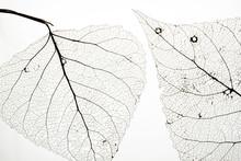 Macro Shot Of Leaf Vein Skelet...