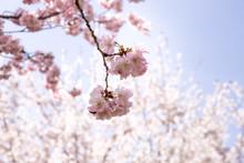 Beautiful Japanese Cherry Blos...