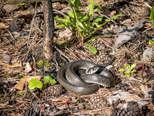 A Large Gray Snake Curled Up In A Pine Forest.