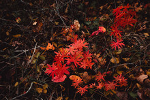Autumn Red Leaves Of A Small Forest Bush Against A Background Of Dry Foliage And Wet Land After Rain