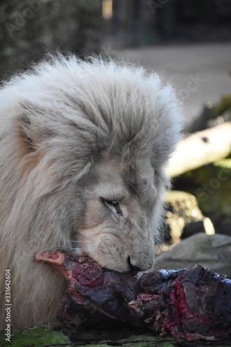 Close up of male white lion eating meat dinner at zoo
