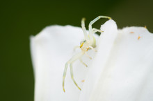 White Crab Spider (Misumena Va...