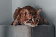 Sad Red Ginger Cat Lying Looki...
