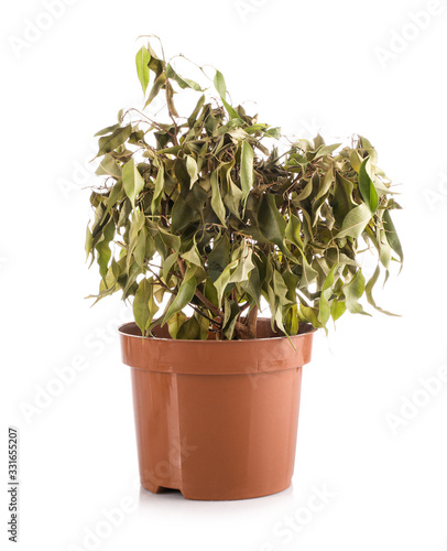Obraz na plátně Faded ficus in pot isolated on white background