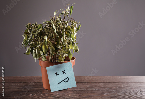Fototapeta Faded ficus in pot on grey background