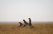 Cheetah Pack Relaxing In Nature