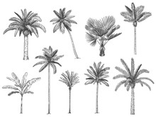 Hand Drawn Tropical Palm Trees. Vector Set Of Hawaii Beach Palm Tree, Fern And Frond Outline, Botany Flora Tropical Illustration
