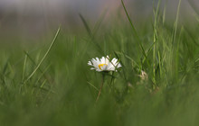 Bellis Perennis Is Like Light In The Dark. Hope Between Nothing. European Species Of Daisy Hidden In High Grass On Field Near Beskydy Mountains, Czech Republic. Herbal Medicine. Potherb. Homeopathy