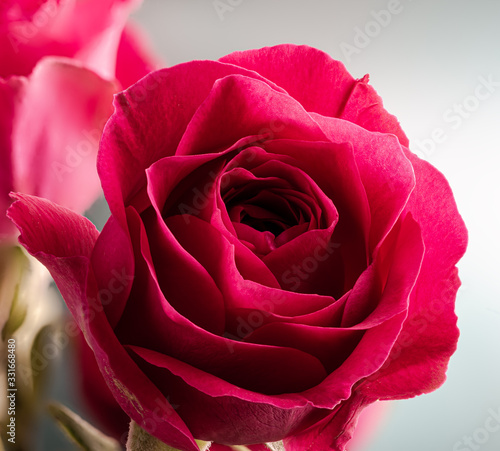 Closeup of a Red Rose