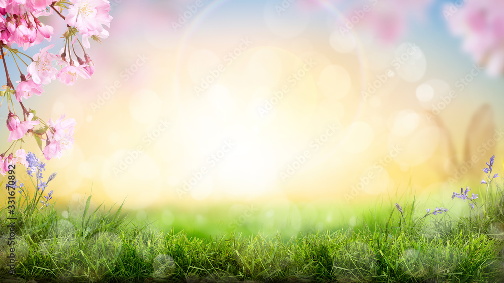 Fototapeta Pink cherry tree blossom flowers blooming in a green grass meadow on a spring Easter sunrise background.