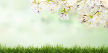White Cherry Tree Blossom Flowers Blooming In A Green Grass Meadow On A Spring Easter Sunny Day Background.