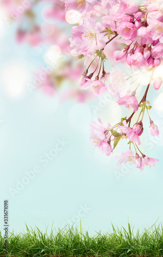 Pink cherry tree blossom flowers blooming above a green grass meadow on a spring Easter sunny day background.