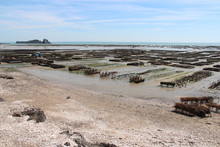 Oyster Farm In Cancale (brittany) In France