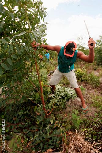 mst invades eucalyptus plantation in bahia Fototapeta