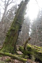 Spessart, Wald, Urwald, Baum, Moos