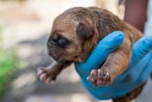 A Brown Newborn Puppy Reaches ...