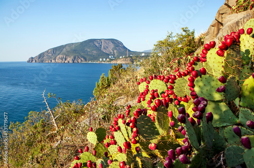 Fotomural Cactus thickets (Opuntia) on Cape Plaka with a view of Bear Mountain (Ayu-Dag),