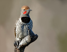 A Gilded Flicker Enjoys The Mo...