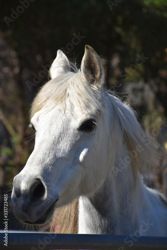 Stunning White Arab Horse Standing in a Paddock