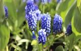 Grape hyacinth in garden