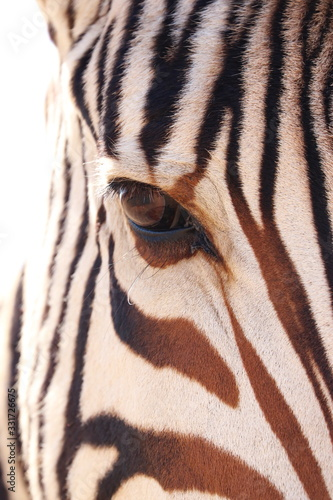 Fototapety, obrazy: Zebra 1870