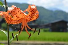 Lirio Naranja En Un Campo De Japón