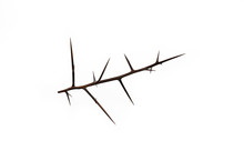 Sharp Thorn With Spikes From A...