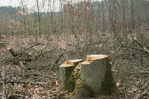 cut oak tree stump in forest Wallpaper Mural