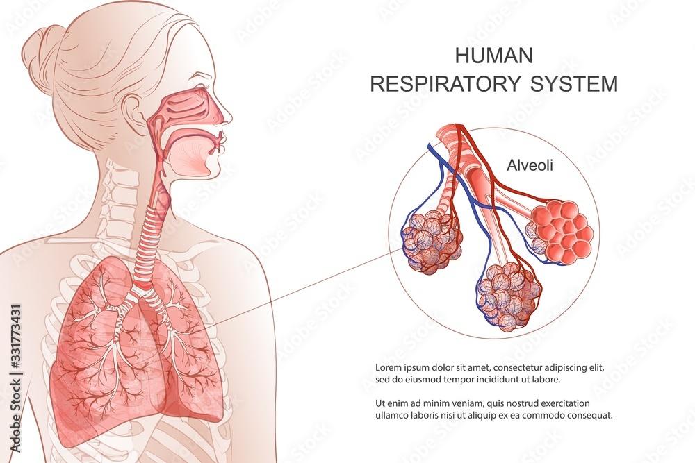 Fototapeta Human Respiratory System, lungs, alveoli. Vector Anatomy illustration.