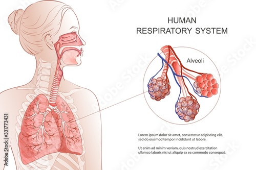 Human Respiratory System, lungs, alveoli Fototapeta