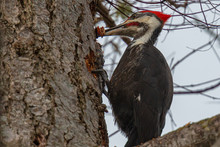 Male Pileated Woodpecker With ...
