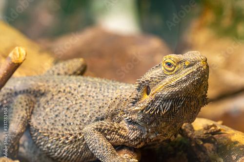 Photo Close up of a central bearded dragon (pagona vitticeps) in captivity