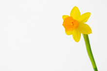 Isolated Yellow Daffodil Flower