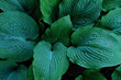 Green hosta leaves close up for nature garden background, shade plant.