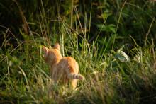 Ginger Orange Tabby Cat In A G...
