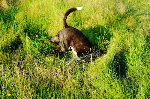 Funny dog playing in lush green grass for joy of spring.