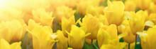 Beautiful Yellow Tulip Field.Banner