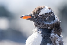 Molting Gentoo Penguin In Anta...
